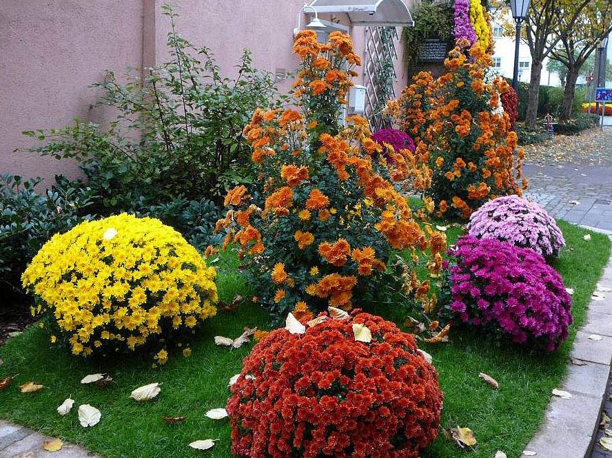 Сочетание однолетних и многолетних хризантем