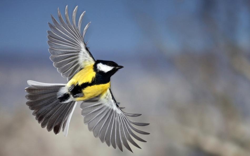 Синицы - кочующие птицы