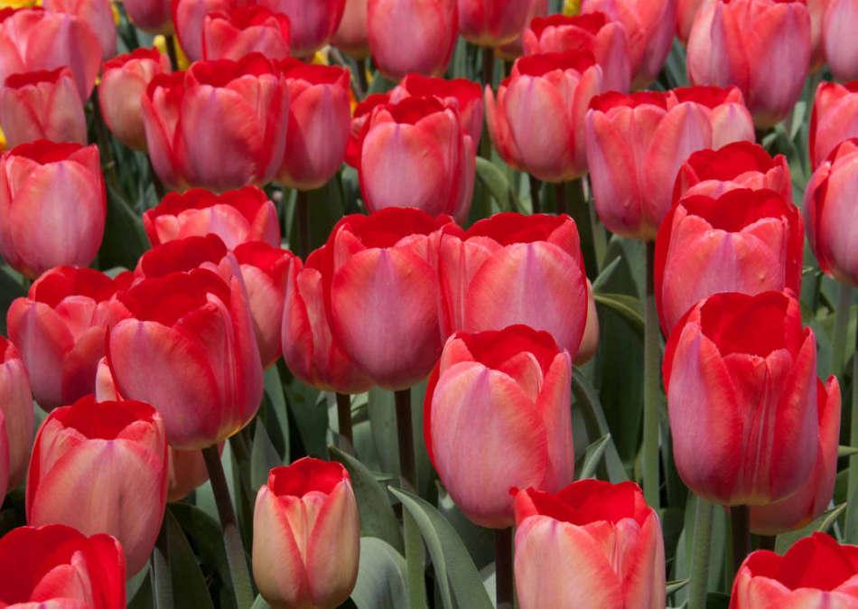 62be2b89b5edcbaaf9a5b90c65b72788 Выращивание тюльпанов к 8 марта