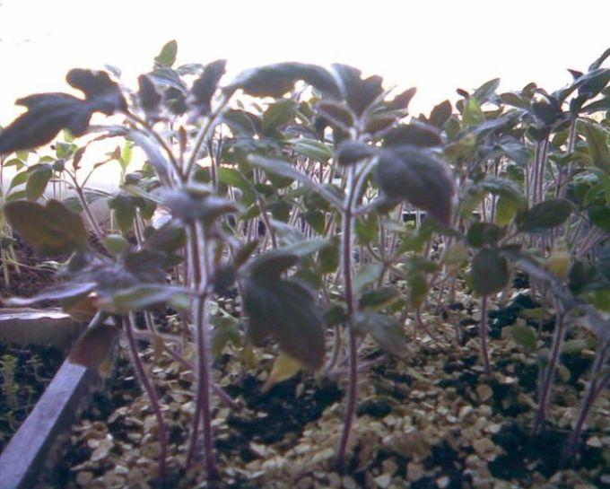 Фиолетовая рассада помидоров