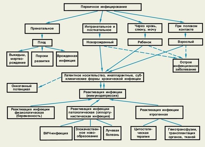 Пути передачи цмв и формы цмв-инфекции.