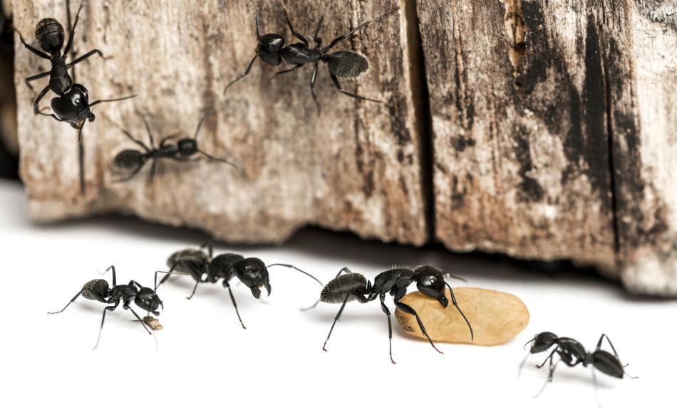 Борьба с муравьями с помощью буры