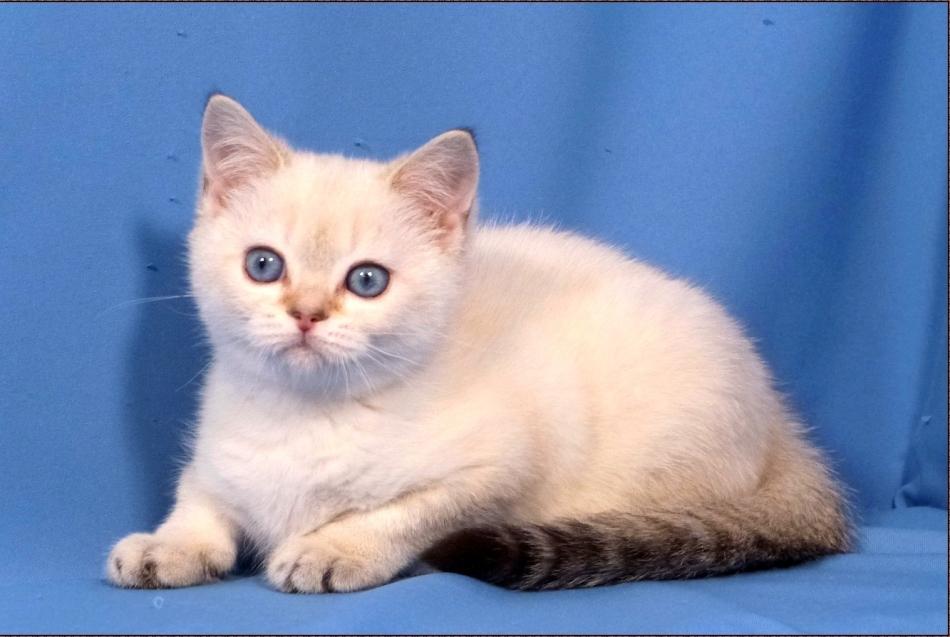 Шотландская порода кошек скоттиш-страйт