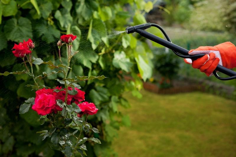 Весенняя обработка роз от болезней и вредителей