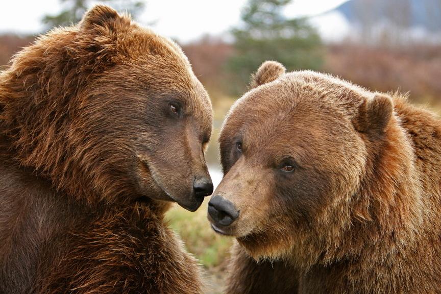 Влюбленные медведи во сне знак о благополучном разрешении личных проблем