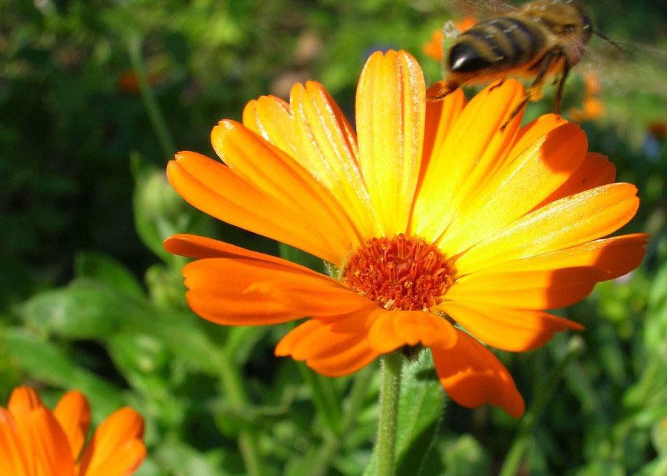 Цветок календулы в природе