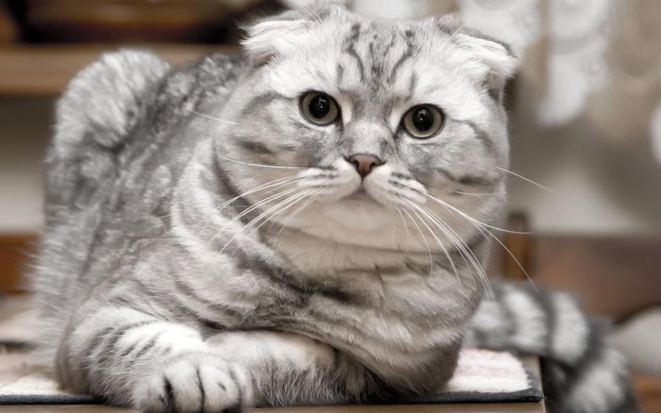 Успокоить кошку во время течки