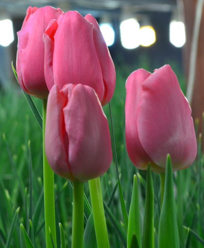 69d27c48522366cdba84a6c027674215 Выращивание тюльпанов к 8 марта