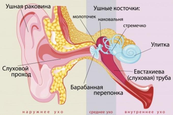 Строение уха у человека