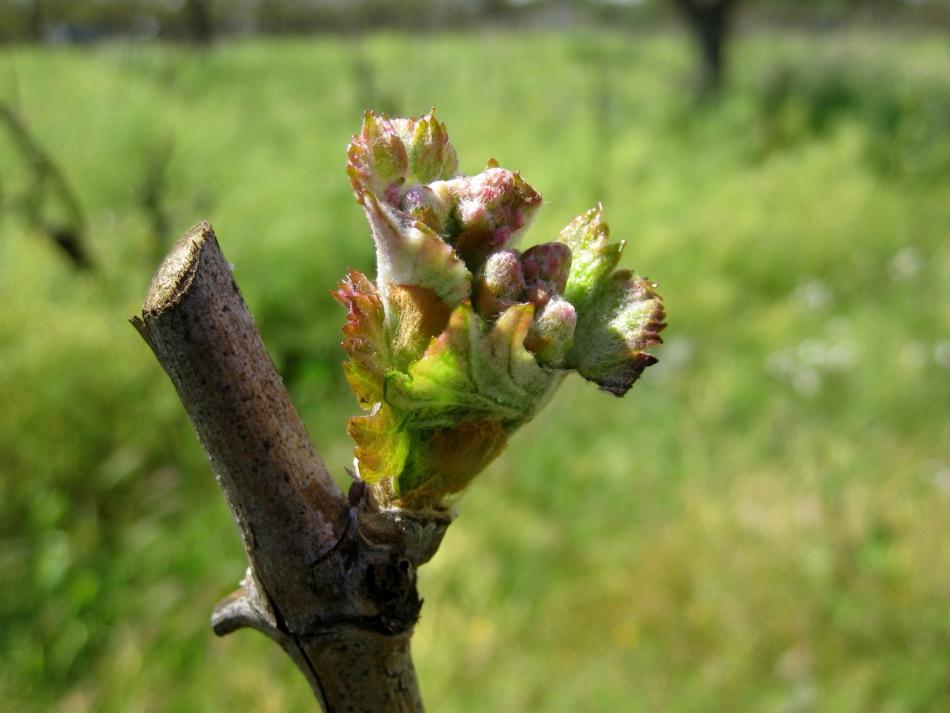 Уход за виноградом начинается с самой весны