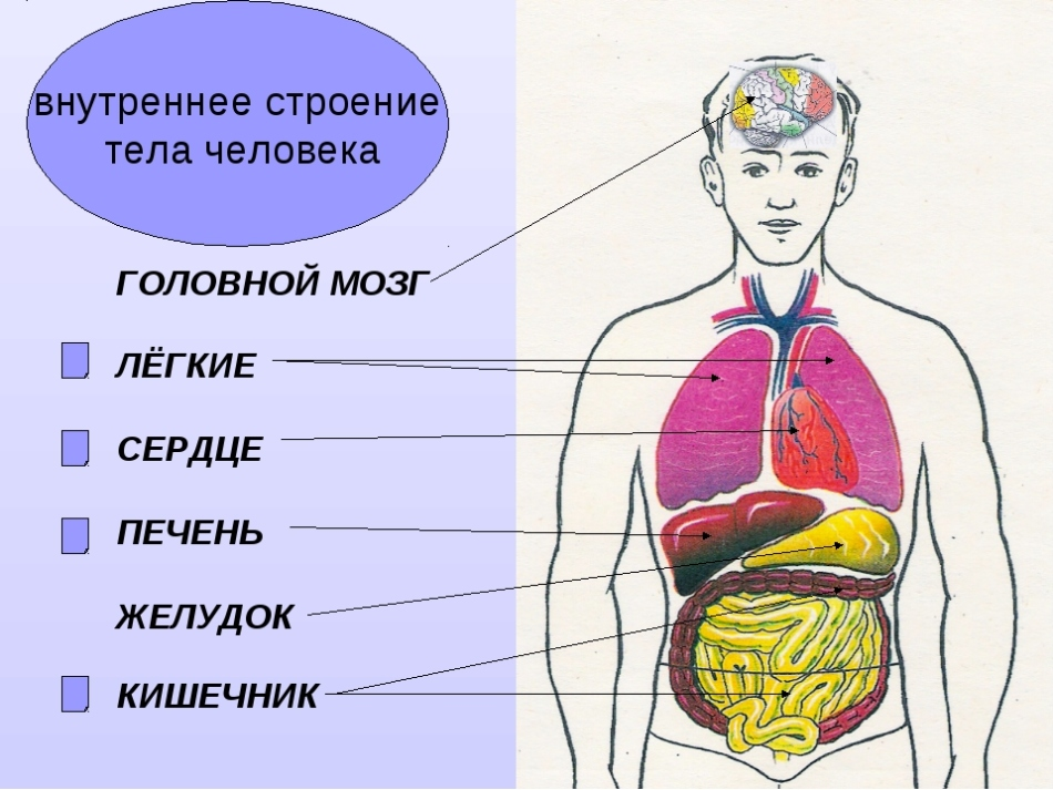 Главные внутренние органы человека