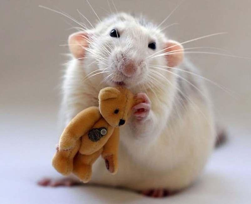 Беременная крыса снится к предстоящим хлопотам.