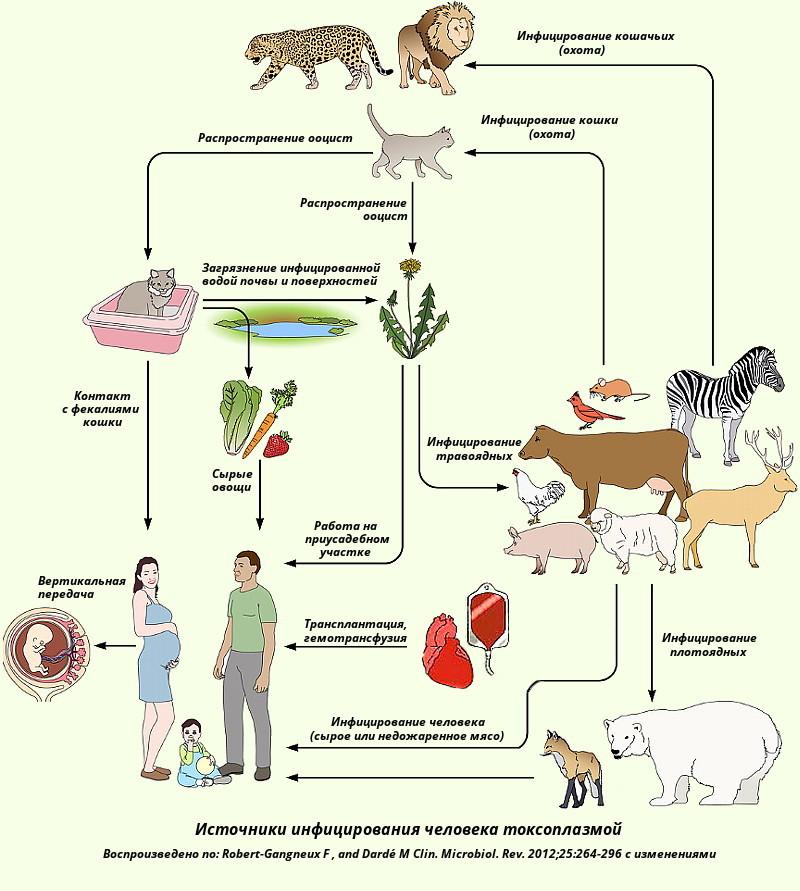 Схема заражения токсоплазмозом