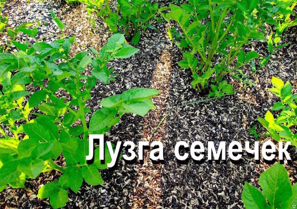 Мульчирование и разрыхление почвы с помощью шелухи