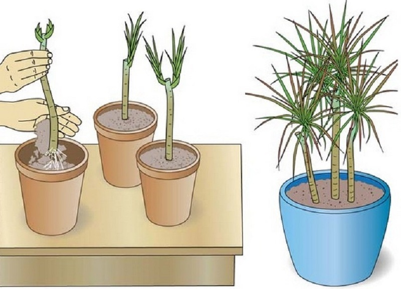 Размножение пальмы драцены верхушками, черенками, воздушными отводками, семенами, стеблевыми черенками в домашних условиях: фото