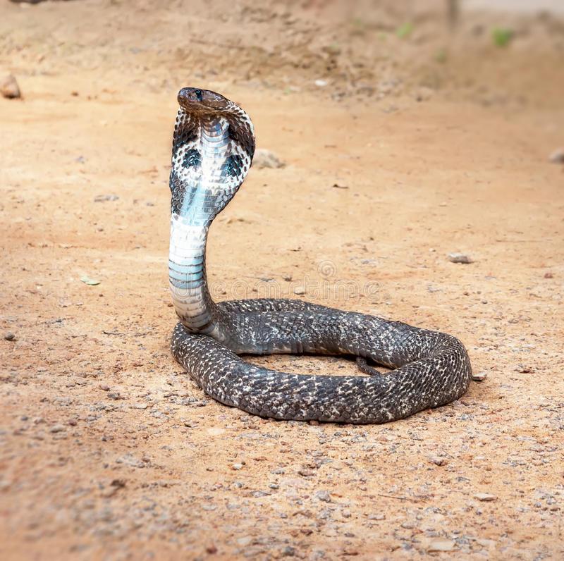 Королевская кобра - самая крупная из ядовитых змей