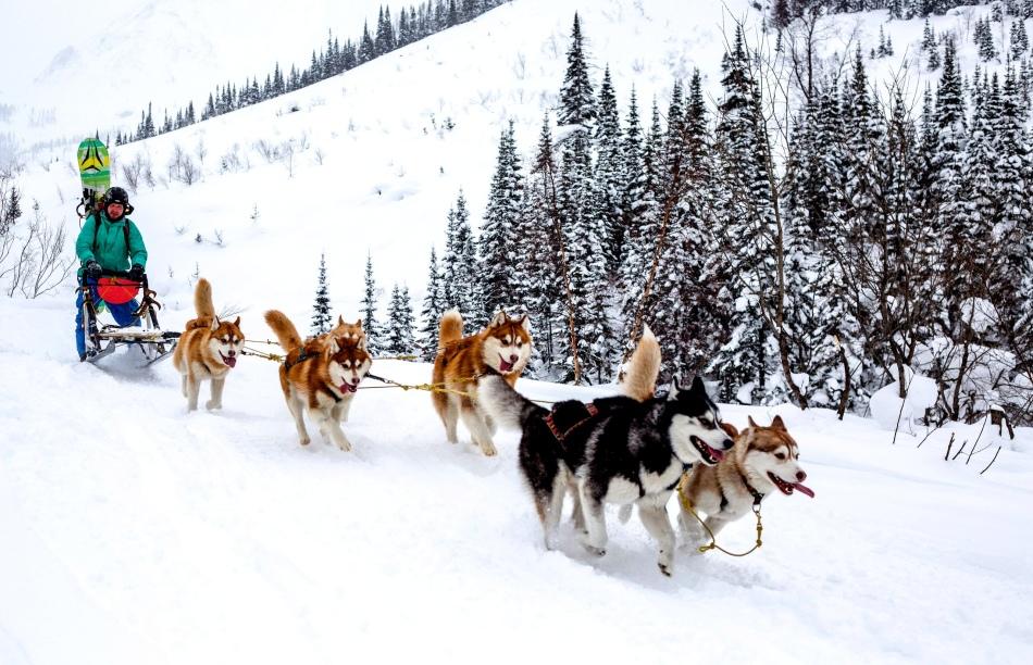 Хаски - ездовые собаки
