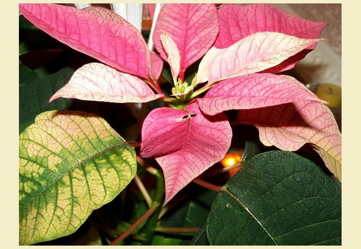 Красный цветок рождественская звезда в доме вянет