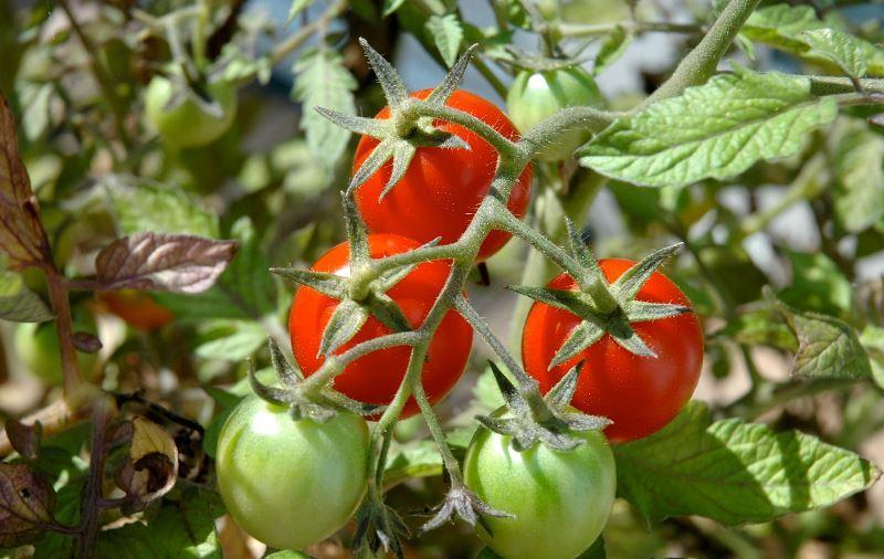 Здоровые томаты