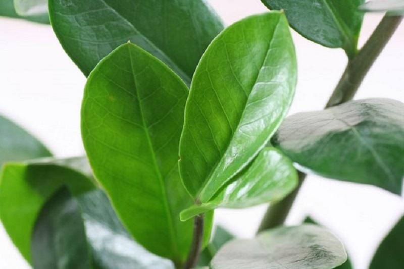 Так выглядят листья замиокулькаса при близком рассмотрении