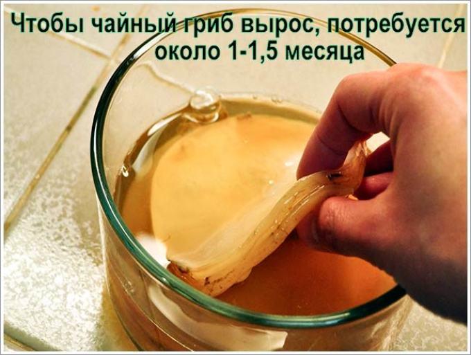 Чайный гриб растет только при правильно созданных условиях