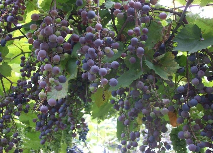С виноградом хорошо сажать клубнику