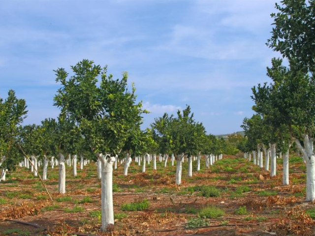 Побелка плодовых деревьев весной и осенью от вредителей и болезней: сроки, температура воздуха. Чем лучше белить фруктовые деревья весной в саду: состав, рецепты несмываемых побелок. Как правильно белить плодовые деревья весной и осенью: подготовка деревьев к побелке