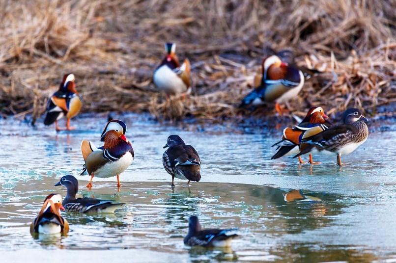 Утки отлично себя чувствуют как на суше так и в воде