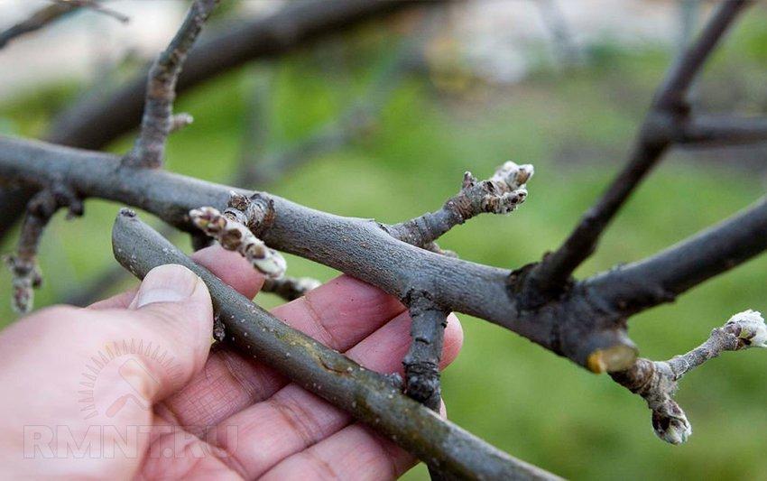 Привить яблоню весной