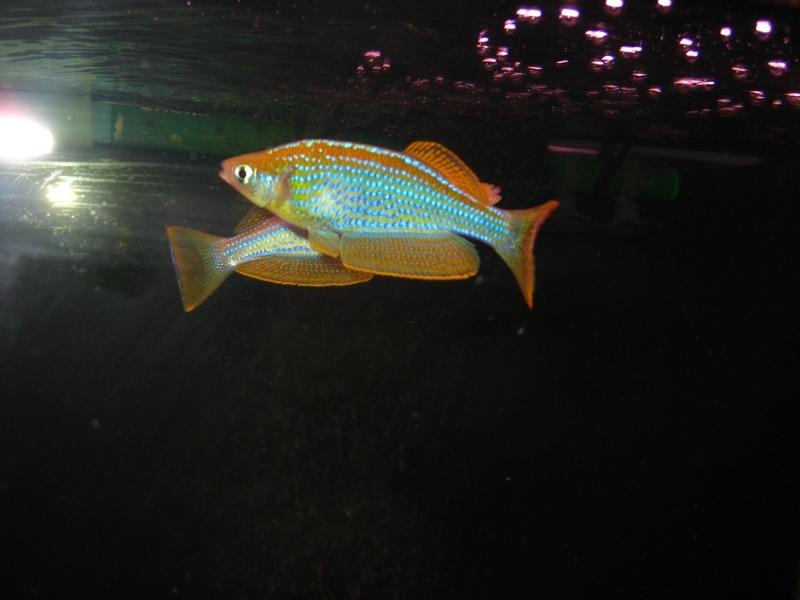Ламприхтис голубая