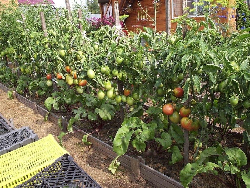 Как лечить хлороз помидоров сульфатом железа?