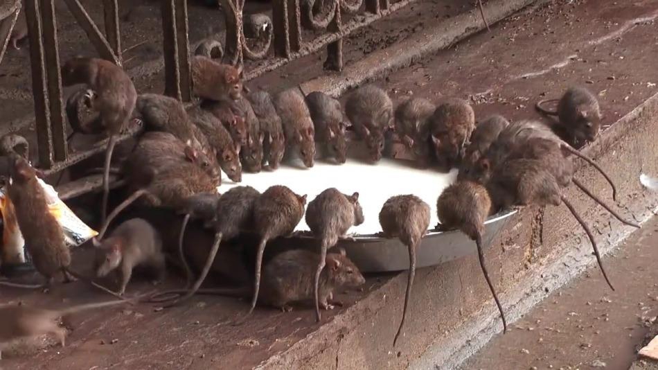 Много крыс в одной точке - к финансовой прибыли.