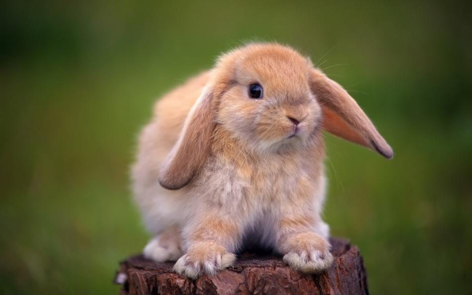 Вислоухие декоративные кролики живут дольше прямоухих
