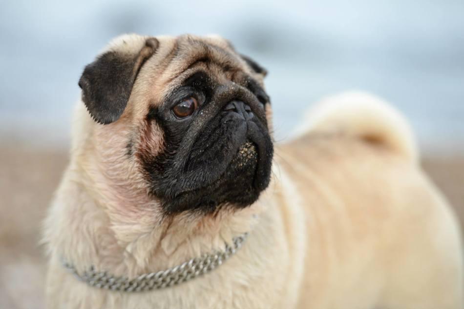 Некротизирующий энцефалит развивается у собак мелких пород