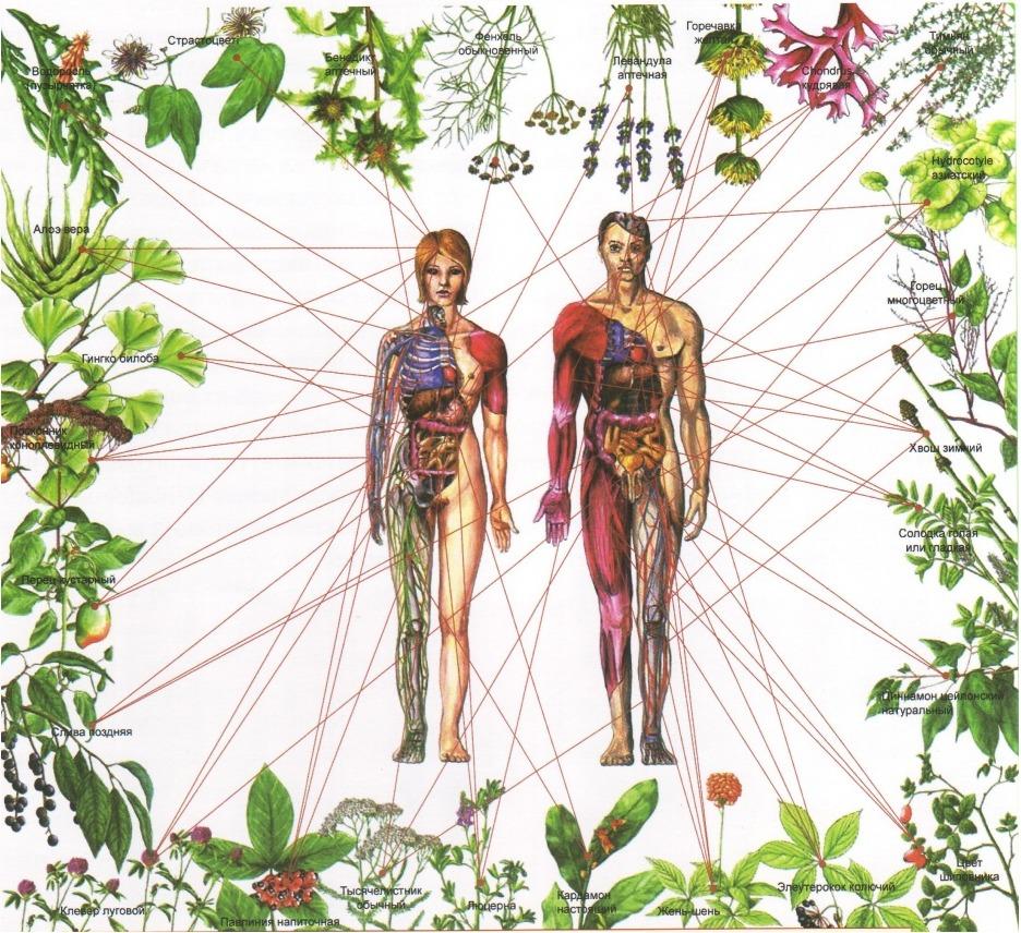 Влияние лечебных трав на организм человека