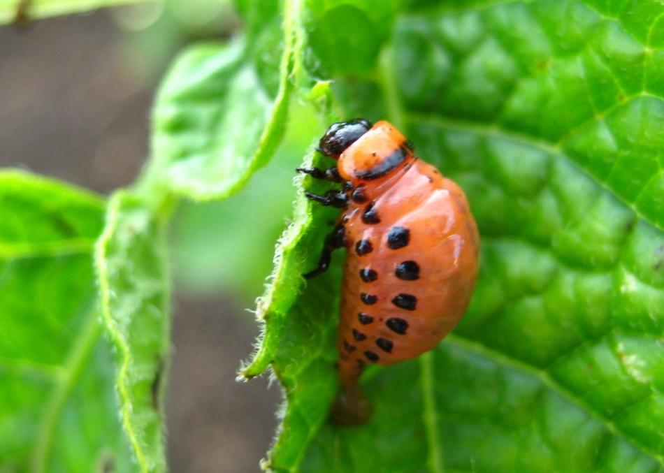 Личинки колорадского жука наносят большой вред