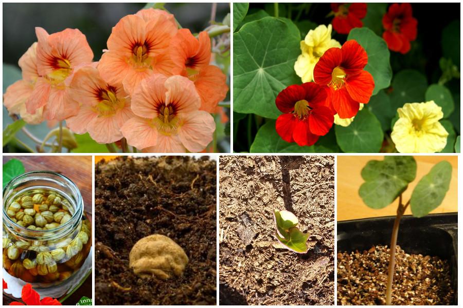 Семена настурции картинки