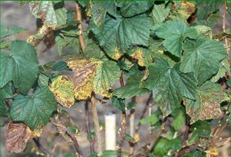 Антракноз - причина пожелтевших листьев черной смородины