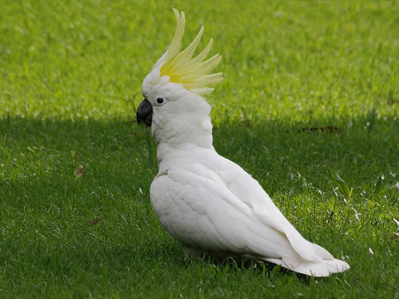 Общительный и любящий поговорить попугай какаду