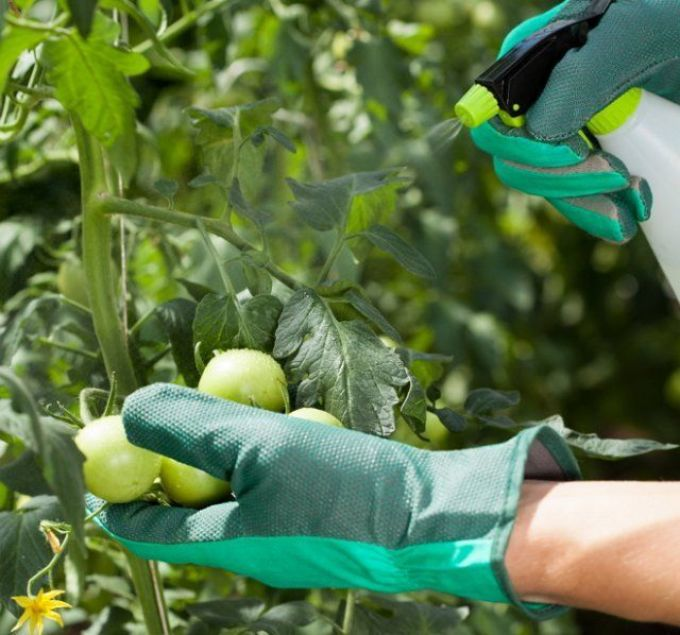Спасение помидор от фитофторы