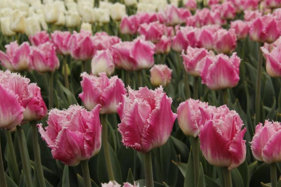 Тюльпаны могут иметь различную форму и цвет