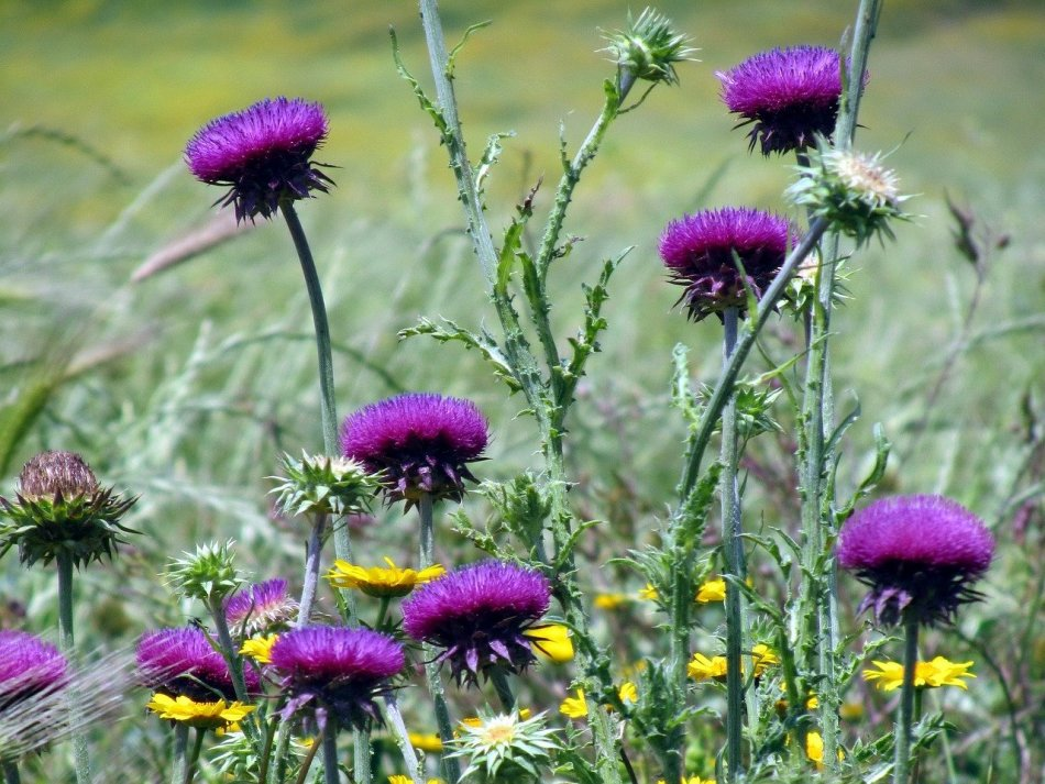 Чертополох фото растения магические свойства