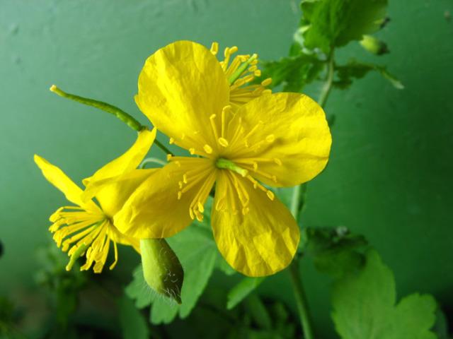 Чистотел — применение в народной медицине, лечение травой