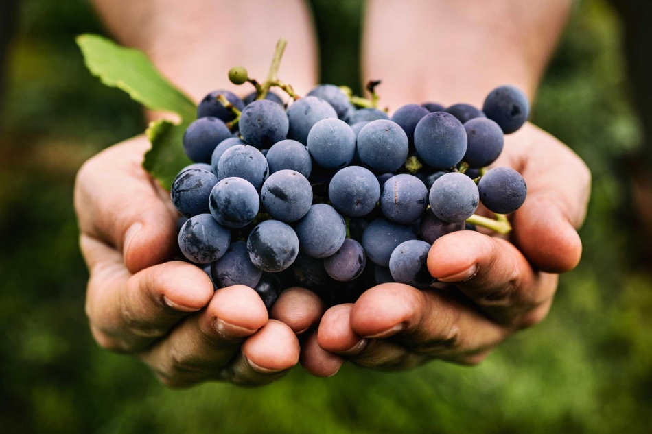 Спелые гроздья винограда во сне обещают успех