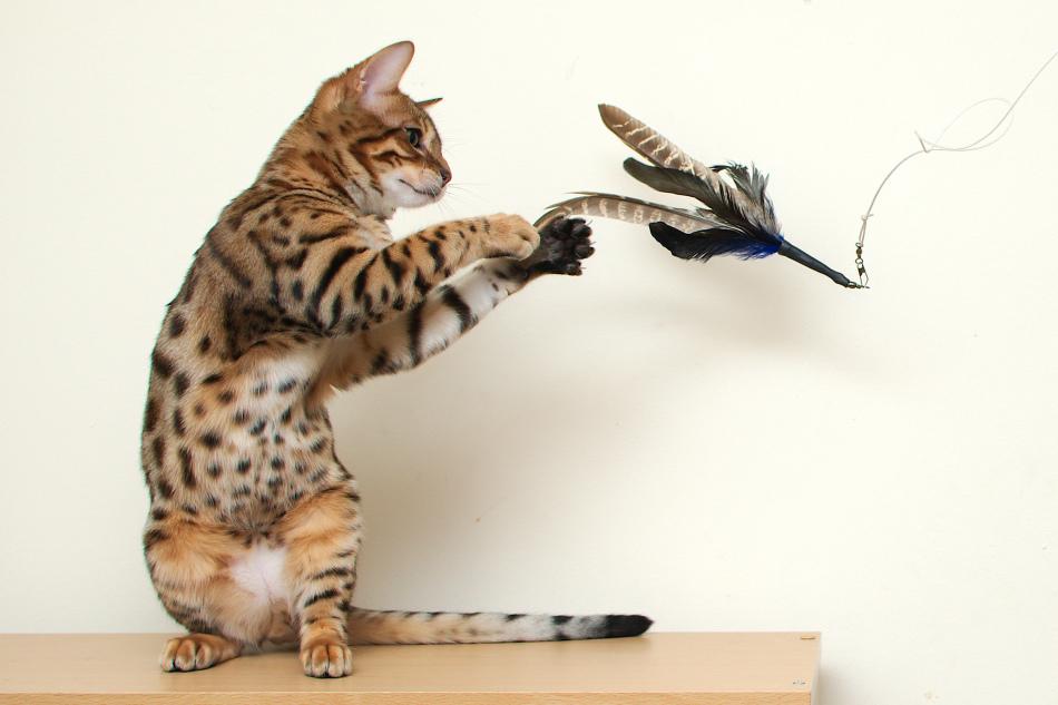 Котенок бенгальской породы или бенгал