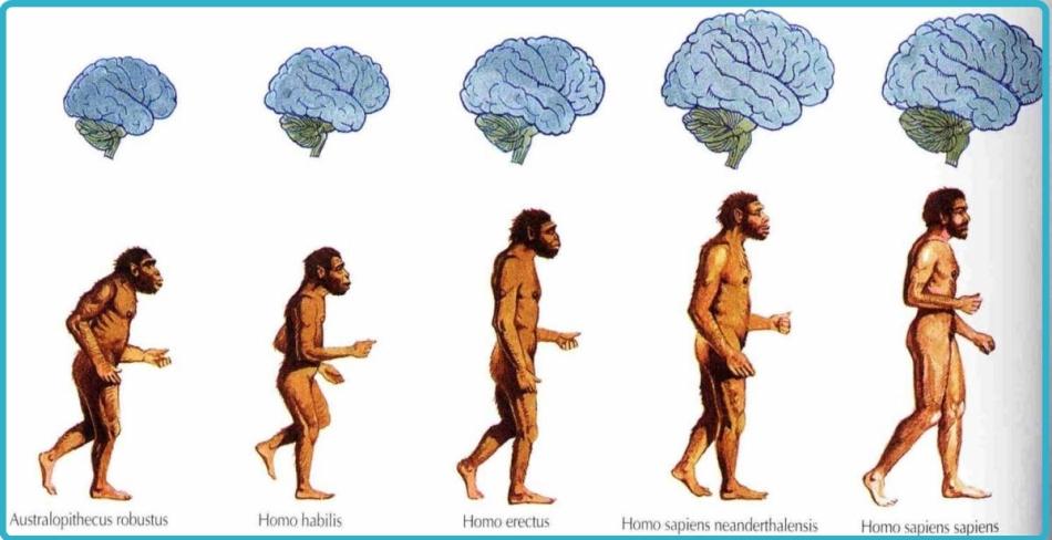 Размер челюсти человека и обезьяны