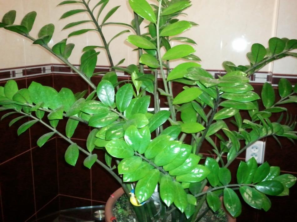 Добрая атмосфера в доме также способствует росту цветка