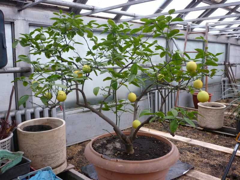 Если у лимона опадают листья, то вы недостаточно хорошо за ним ухаживаете