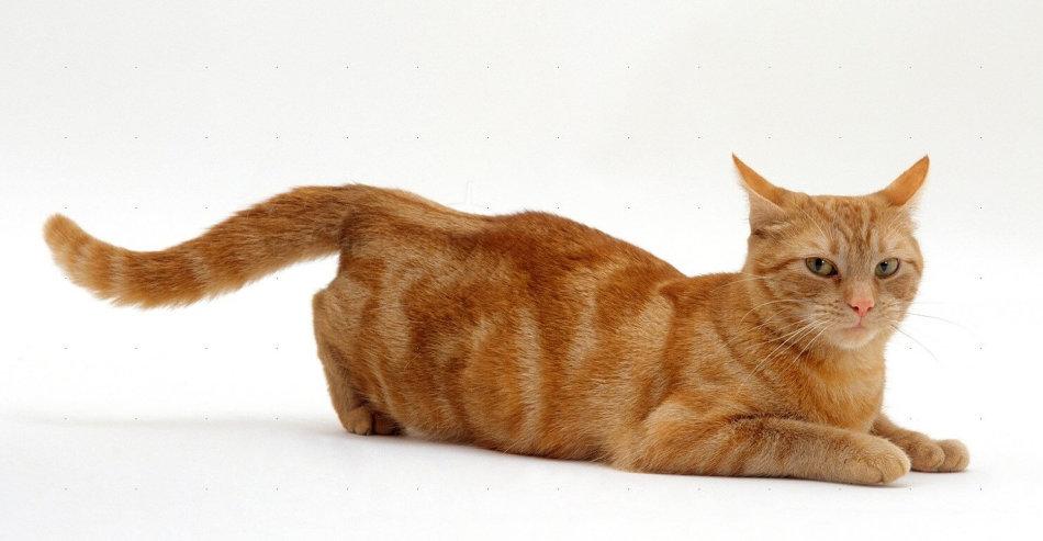 Купание во время течки отвлекает кошку.