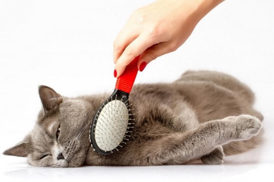 Ухоженная шерсть - залог здоровой кошки.